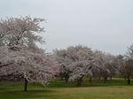 圧巻の桜_R.JPG
