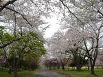 桜のトンネル_R.JPG