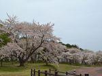森の桜_R.JPG